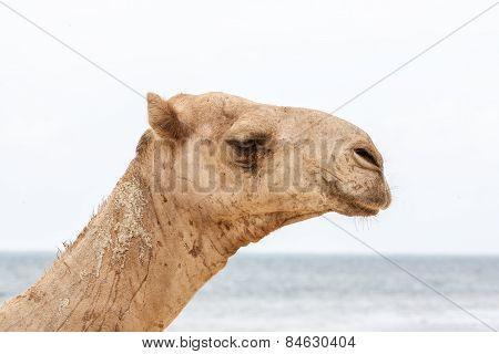 camel resting on the ocean shore.