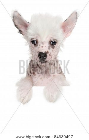 Chinese Crested Puppy On White Banner
