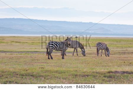 Herd of wild zebras