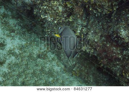 Pomacanthus Arcuatus