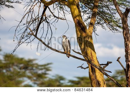 African Fish Eagle on a tree, Kenya