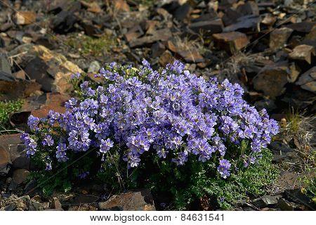 Flowers Cyanosis (polemonium Racemosum) In Chukotka.