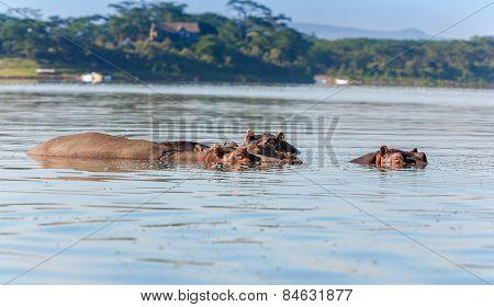 Group of hippopotamus in water