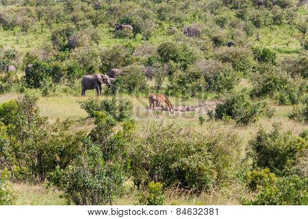 elephant family  and giraffe walking in the savanna
