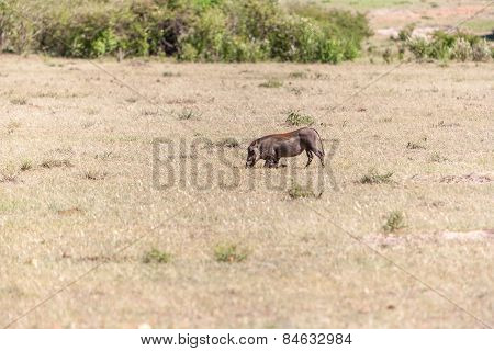 Warthog on the National Park of Kenya.  Africa