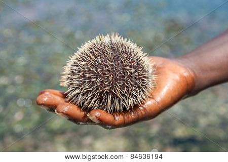 sea hedgehog lays on a man's hand