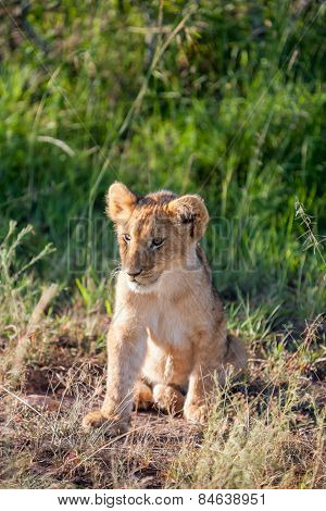 lion cub on the plains Kenya