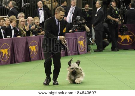 NEW YORK-FEB 17: Charlie, a Skye Terrier, performs at the 139th Annual Westminster Kennel Club Dog Show on February 17, 2015 in New York City.