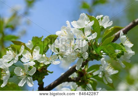 Plum blossoms in the spring garden