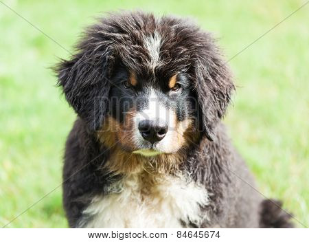 Portrait of a Bernese mountain dog, outdoor