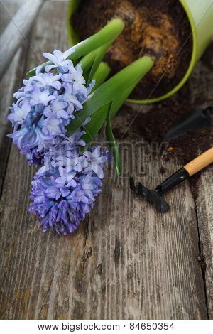 Blue Hyacinths And Garden Tools