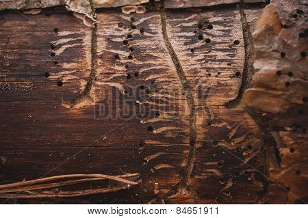 Bark Beetle Gallery Engraving On Spruce Wood