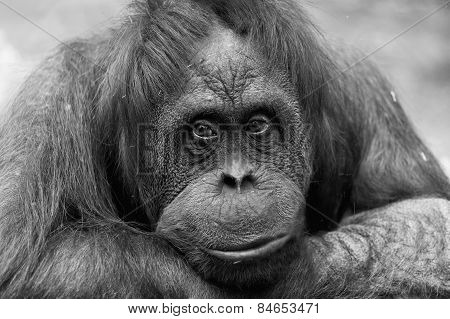 Portrait Of A Sad Female Of An Orangutan, Monochrome