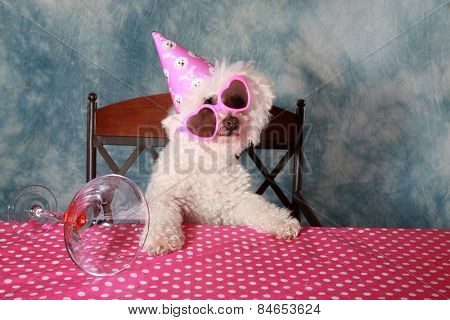 Jolie a Pure Breed Bichon Frise dog celebrates her 12th Birthday.