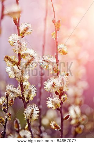 Fluffy Branches Of A Willow