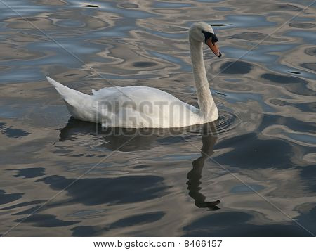 Lovely Swan Gliding By