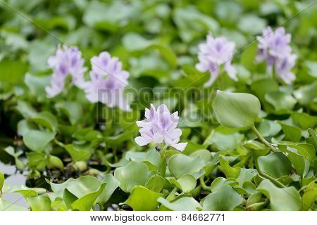 Flower Of Water Hyacinth.