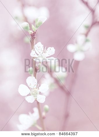 Cherry tree blossom, beautiful pink floral background, gentle little white flowers on tree twig, dreamy photo, fine art, spring nature concept