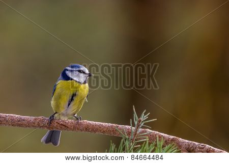 Blue Tit on a Branch in the Forest