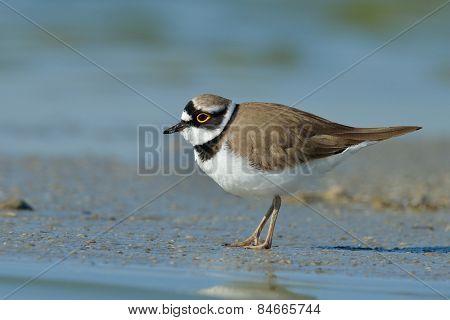 little ringed plover in natural habitat (Charadrius dubius)
