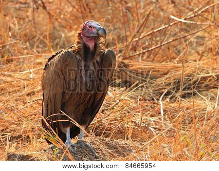 Isolated Lappet Vulture resting in the bush