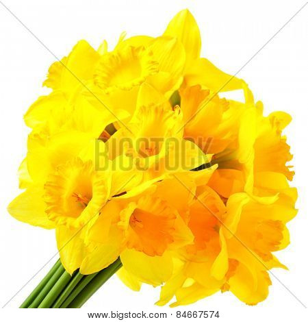 Bunch of yellow narcissuses isolated over the white background