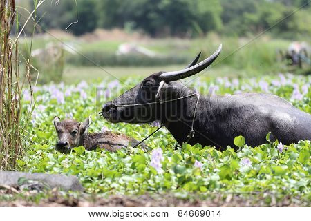 Thai Water Buffalo And Child Of It