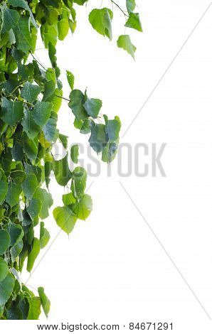 Sacred Fig Tree Leaves
