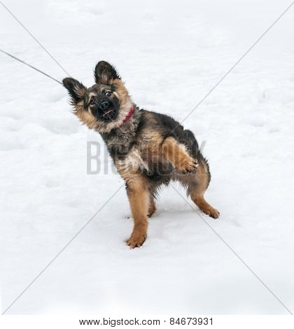 Black And Yellow Puppy Goes On Leash On Snow And Resists
