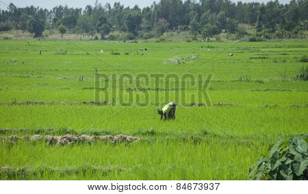 EMBU, KENYA-SEPTEMBER 15, 2014: Unidentified woman plants rice by hand near the village of Embu, Kenya