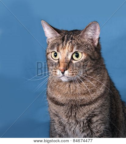 Tabby Cat Sitting On Blue