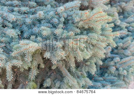 Blue spruce tree branch closeup background