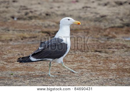 Walking Kelp Gull