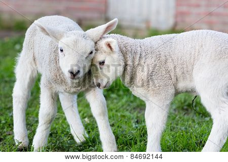 Two hugging and loving newborn white lambs