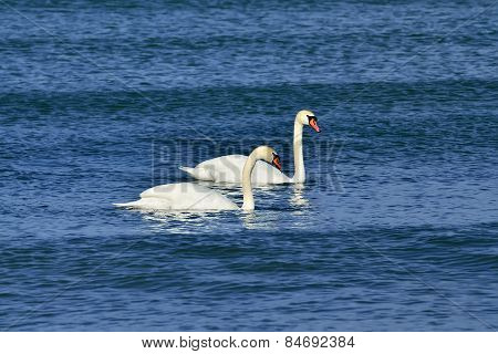 Two Mute Swan