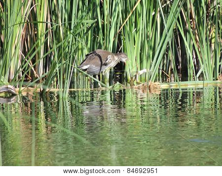 Common Moorhen 3-4 Months Old With An Open Beak In The Reeds