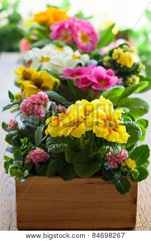 Fresh colorful primula in wooden flower pot