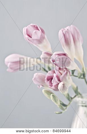 Pink Freesia Flowers