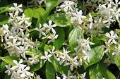 foto of jasmine  - Closeup view of a bush of Jasmine flowers - JPG
