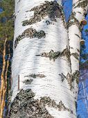 stock photo of birching  - Part of the trunk of birch close up - JPG