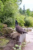 foto of fowl  - The gray Guinea fowl on a background of green park - JPG