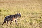 picture of hyenas  - Hyena wandering the plains of the Kenya Africa - JPG