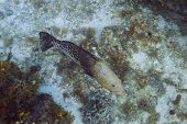 picture of hermaphrodite  - Tiger grouper in mid color change phase from tan to black - JPG