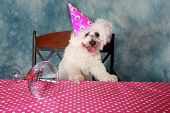 image of bichon frise dog  - Jolie a Pure Breed Bichon Frise dog celebrates her 12th Birthday - JPG