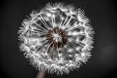 stock photo of dandelion seed  - Macro closeup of dandelion seed head over black background with seeds missing - JPG
