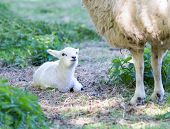 picture of spring lambs  - Lying white newborn lamb with legs of mother sheep in spring meadow - JPG