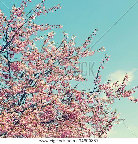 flowers sakura cherry blossoms in the spring of fog