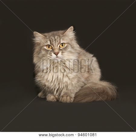 Gray Fluffy Cat Sits On Dark Gray