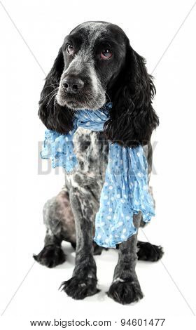 Cute dog with blue scarf isolated on white background