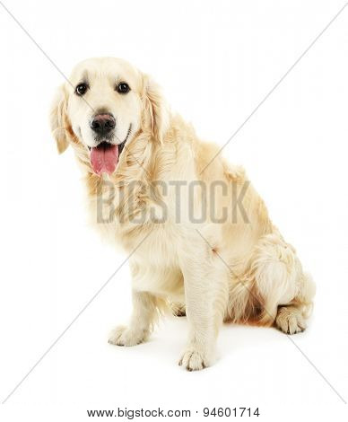 Cute Labrador isolated on white